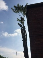 Dismantling a large sycamore